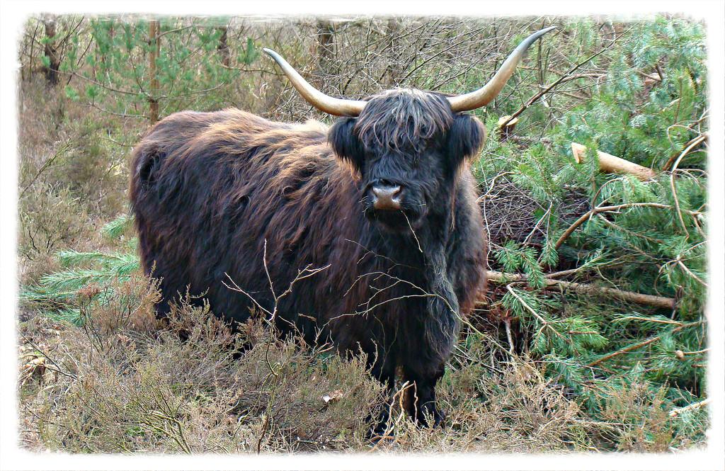 Highland cattle by gijsje