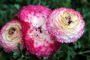 22nd Mar 2020 - Ranunculus asiaticus