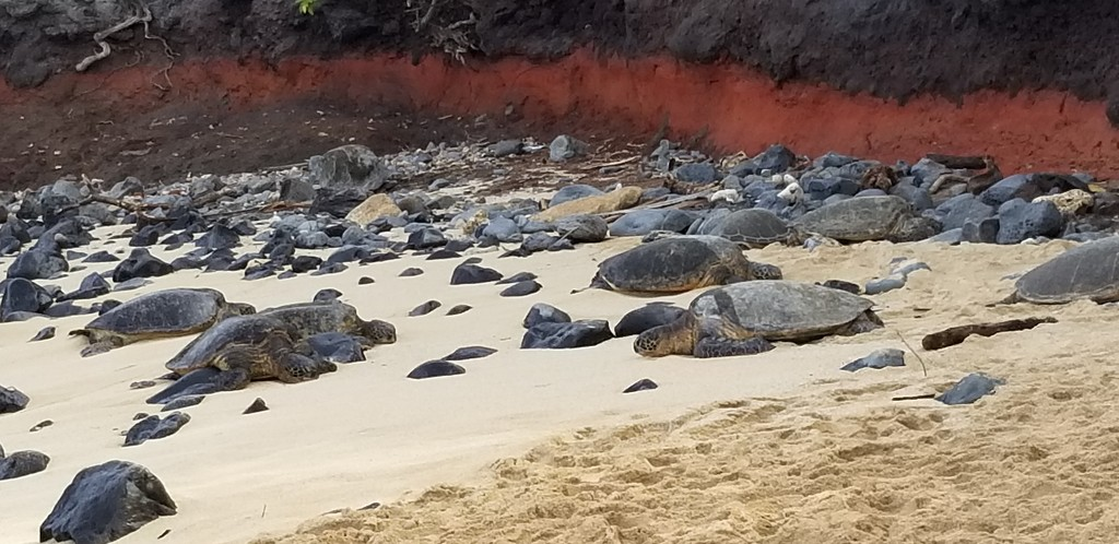 Turtles at Hookipa Park by schmidt