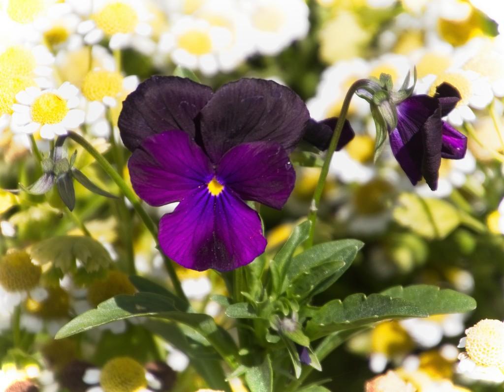 Purple pansy by kiwinanna