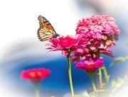 15th Mar 2020 - Pink Monarch