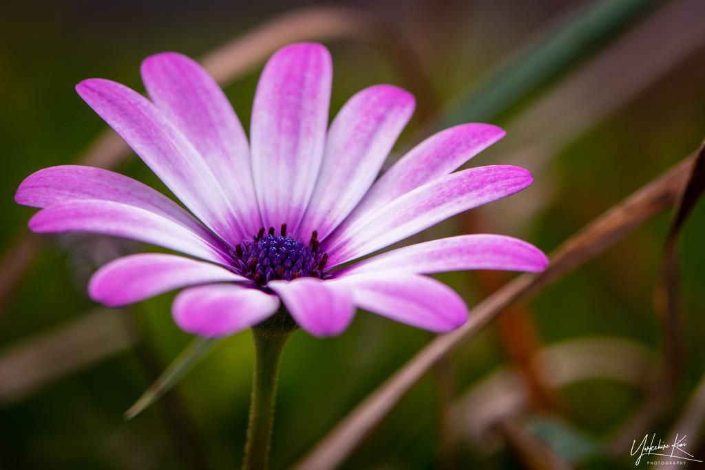 Lone pink Daisy by yorkshirekiwi