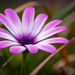 Lone pink Daisy