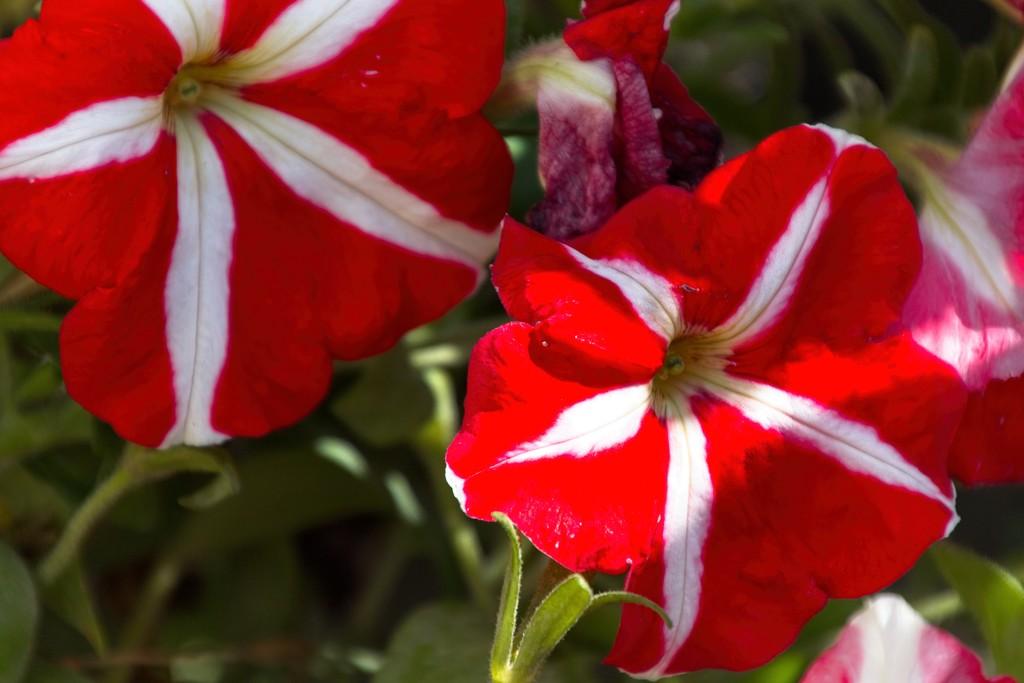 Red petunias by kiwinanna