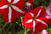 16th Mar 2020 - Red petunias
