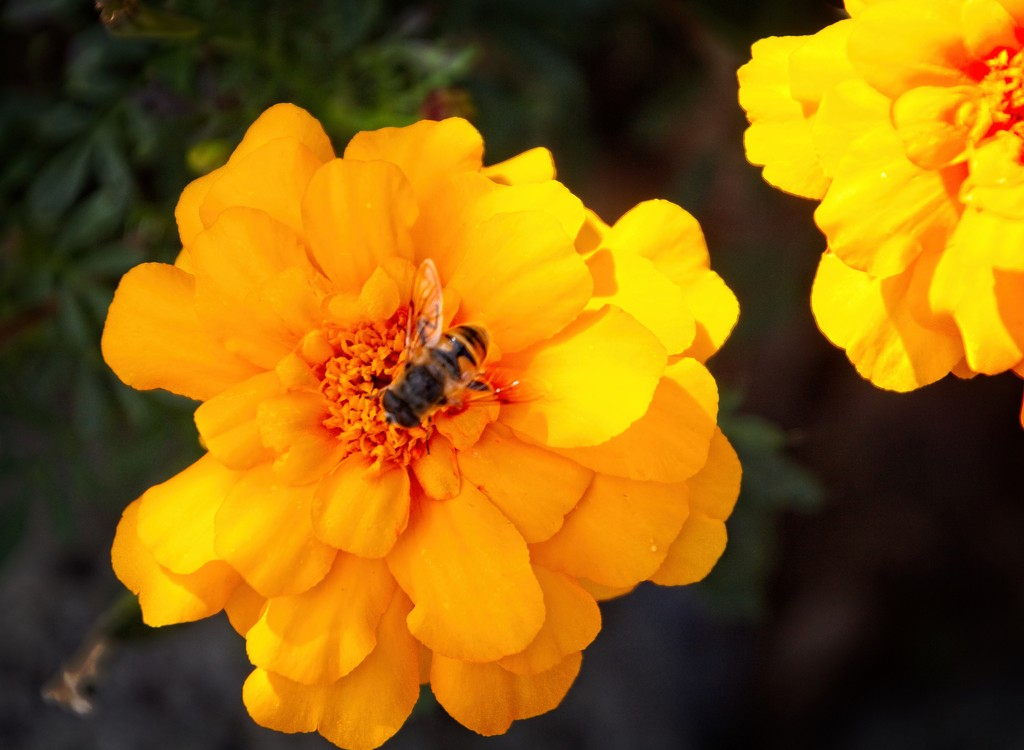 Orange marigolds plus bee by kiwinanna