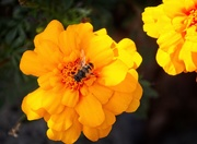 17th Mar 2020 - Orange marigolds plus bee