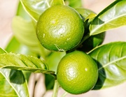 19th Mar 2020 - Green limes - where is the gin?
