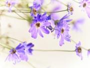 21st Mar 2020 - Violet or purple