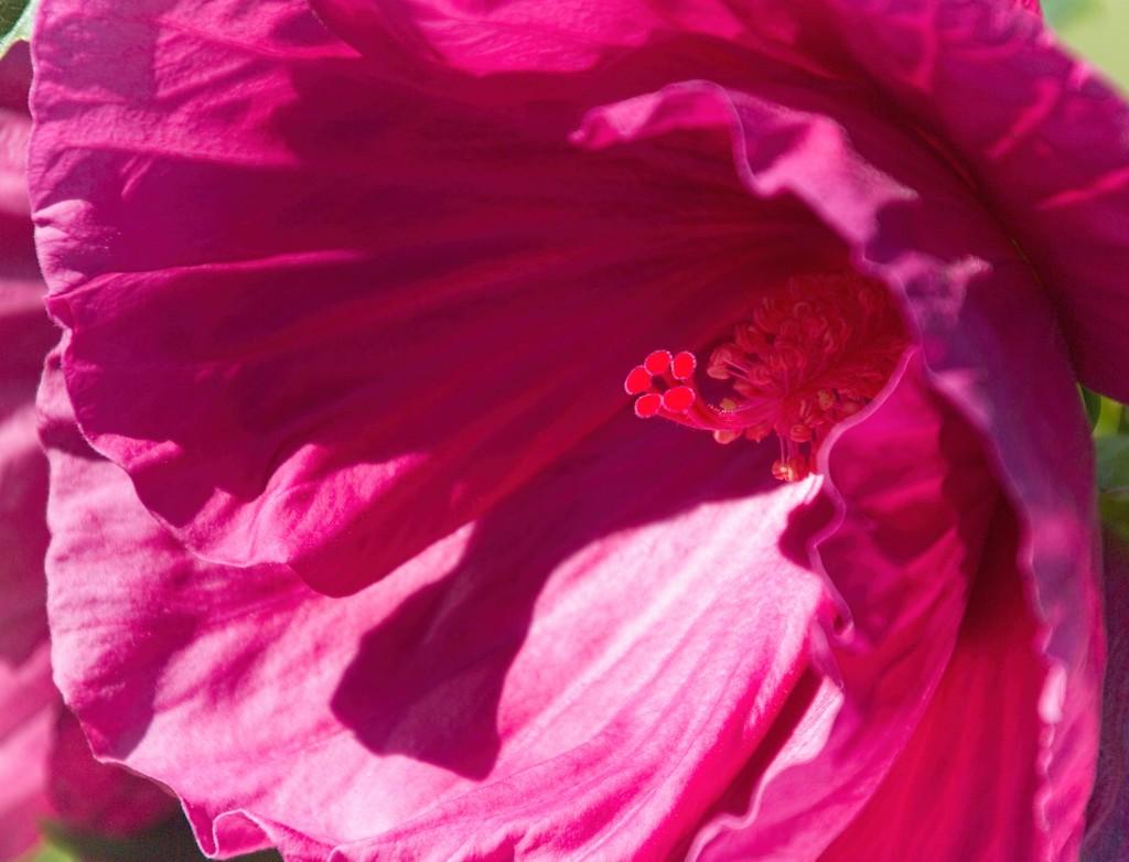 Hot pink stamens  by kiwinanna