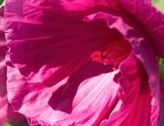 22nd Mar 2020 - Hot pink stamens