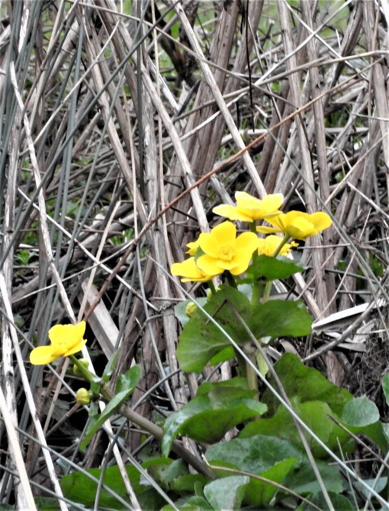 Marsh Marigolds by oldjosh