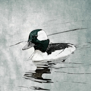 22nd Mar 2020 - Bufflehead
