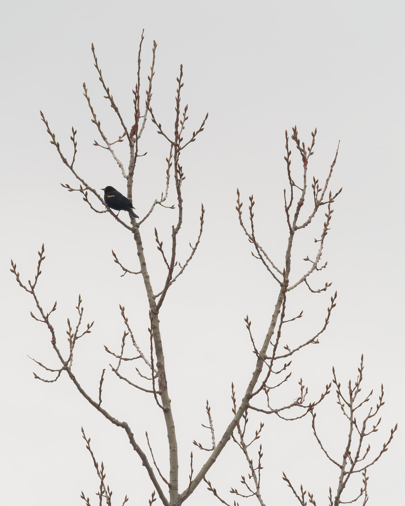Red-winged blackbird in a tree by rminer