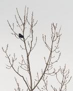 22nd Mar 2020 - Red-winged blackbird in a tree