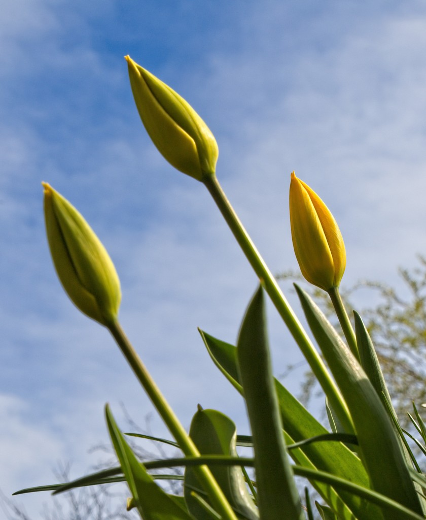 Tulips are about to bloom by stevehurst