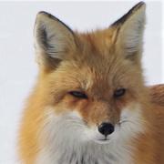 22nd Mar 2020 - Foxy Lady
