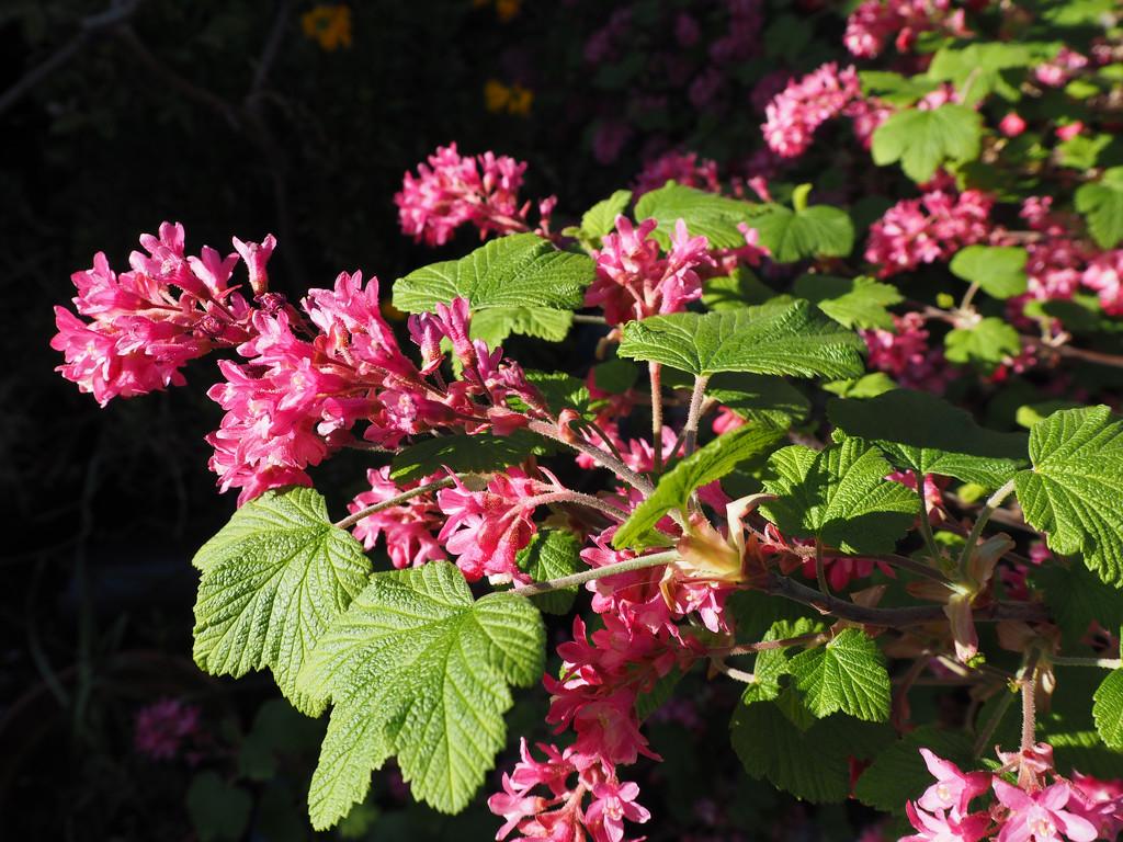 flowering currants by josiegilbert