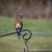 Blue Birds Posing