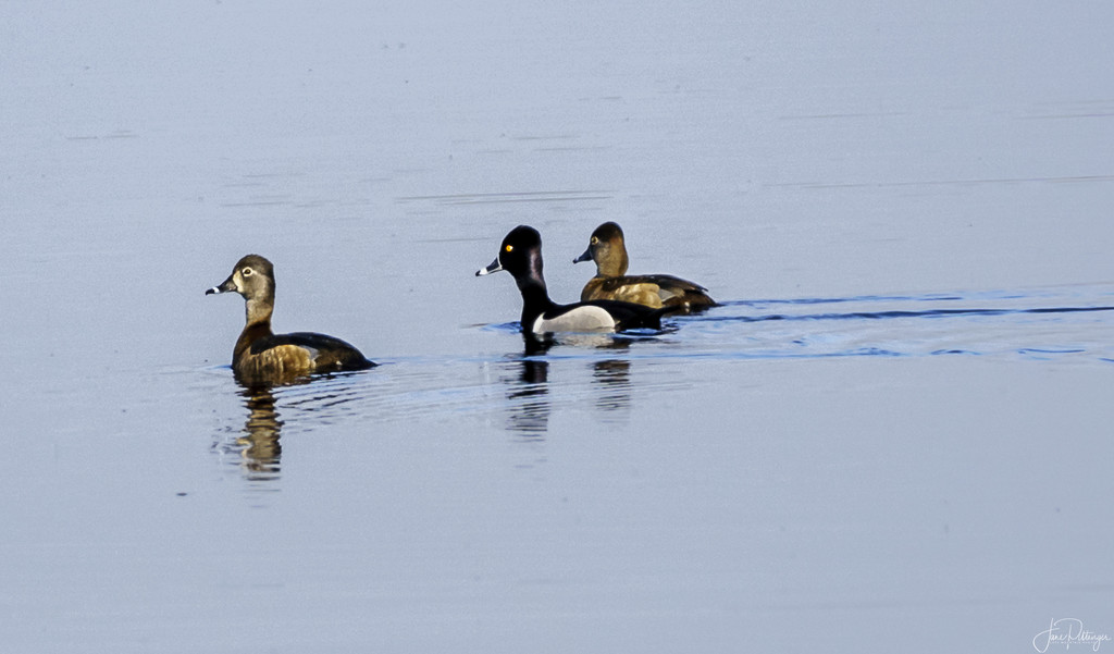 Ring Necked Duck with Two Girl Friends  by jgpittenger