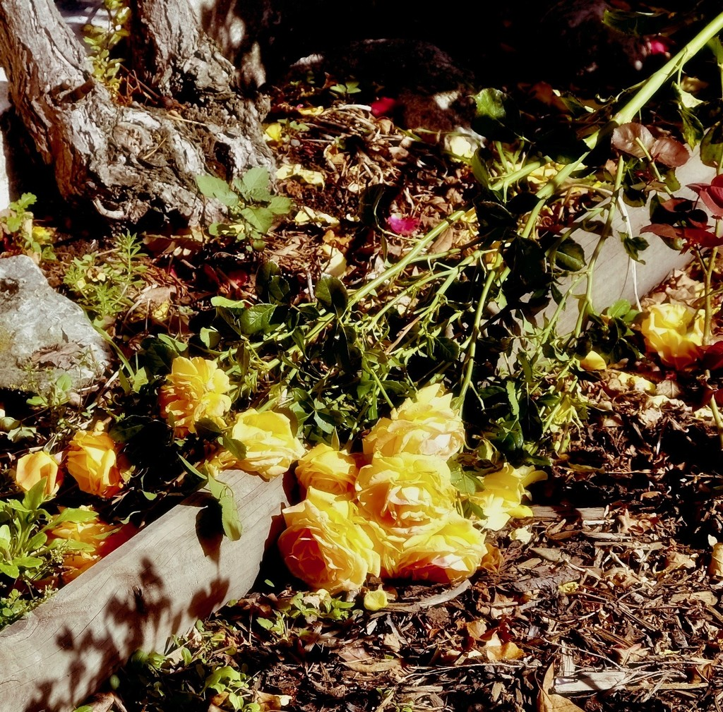 A tissue a tissue we all fall down.... by maggiemae