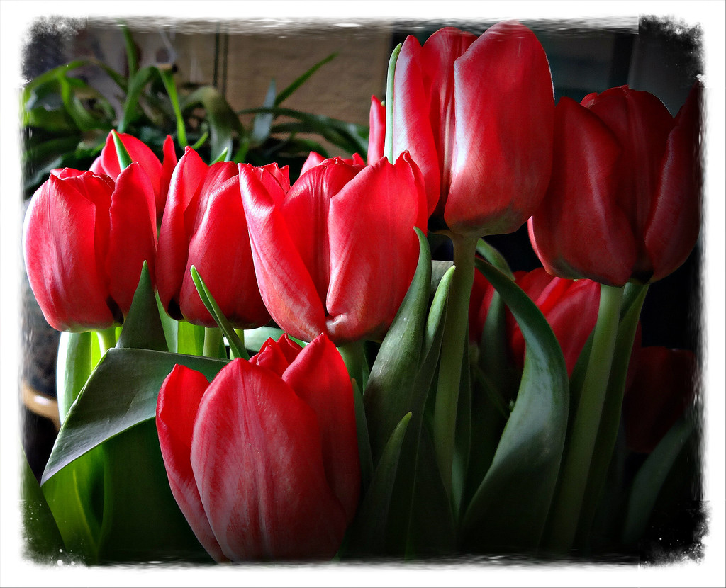 red tulips by gijsje