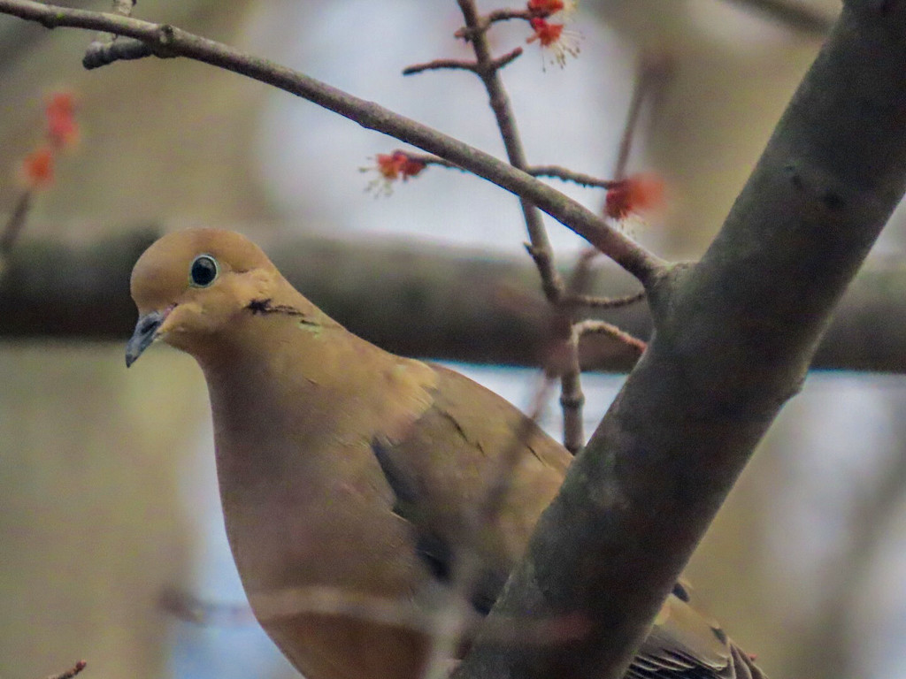 Mourning Dove at my Window by mzzhope