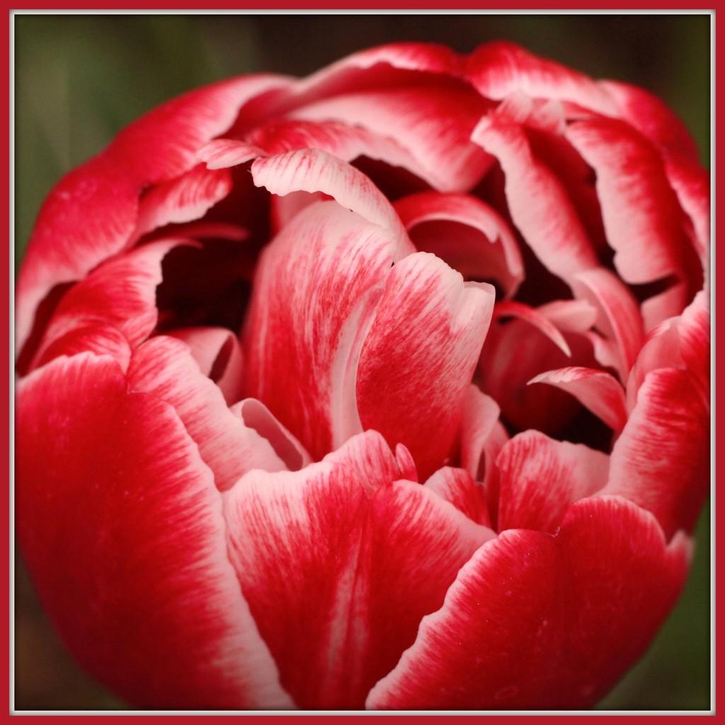 Gosh, Do I Have Tulips! by milaniet