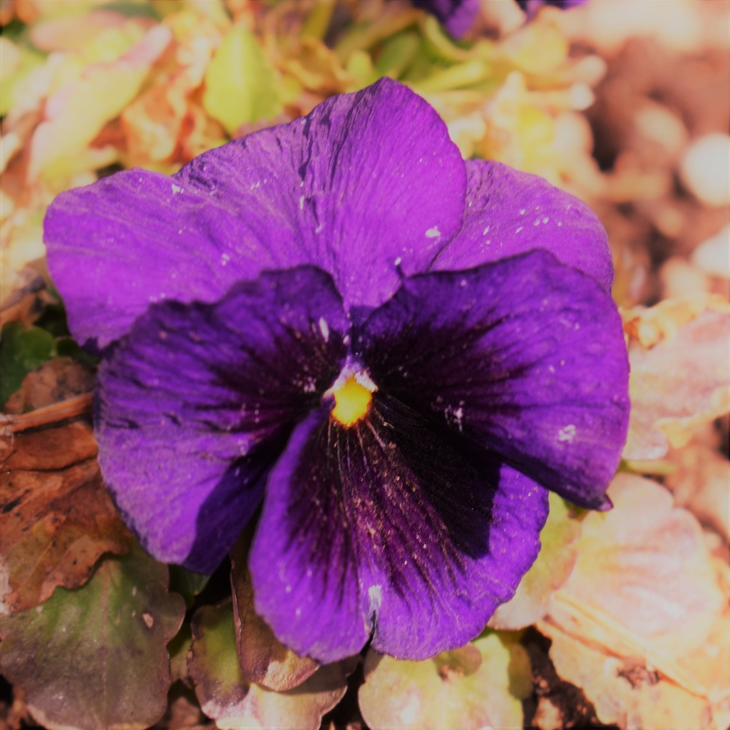 Purple Pansy by sandlily