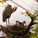Blue Heron and Chicks!