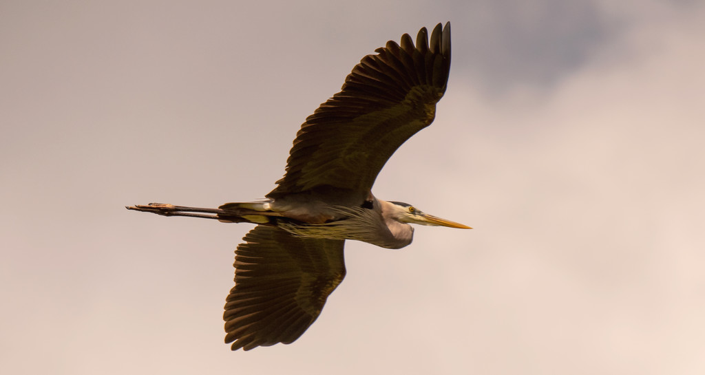 Blue Heron Passing Overhead! by rickster549