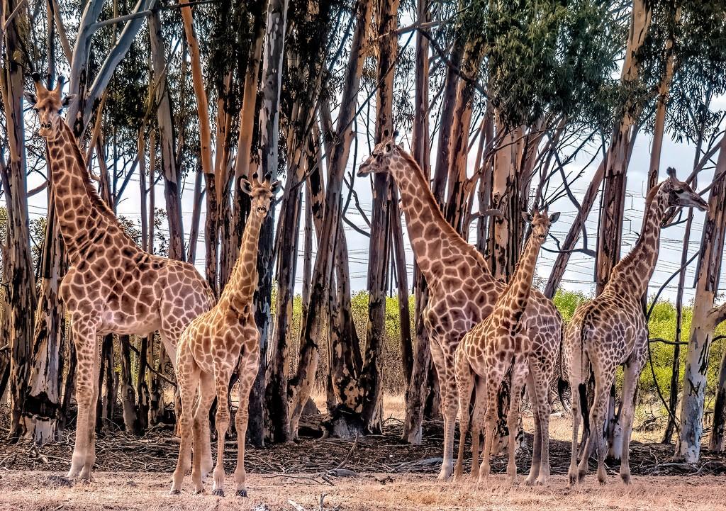 Giraffes by ludwigsdiana