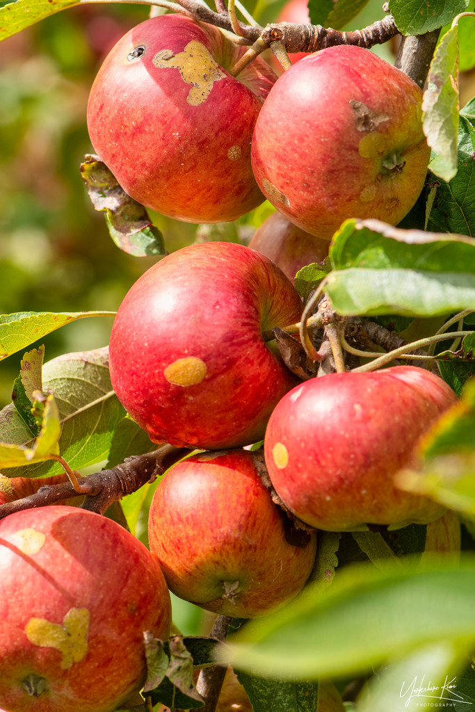 Apples by yorkshirekiwi