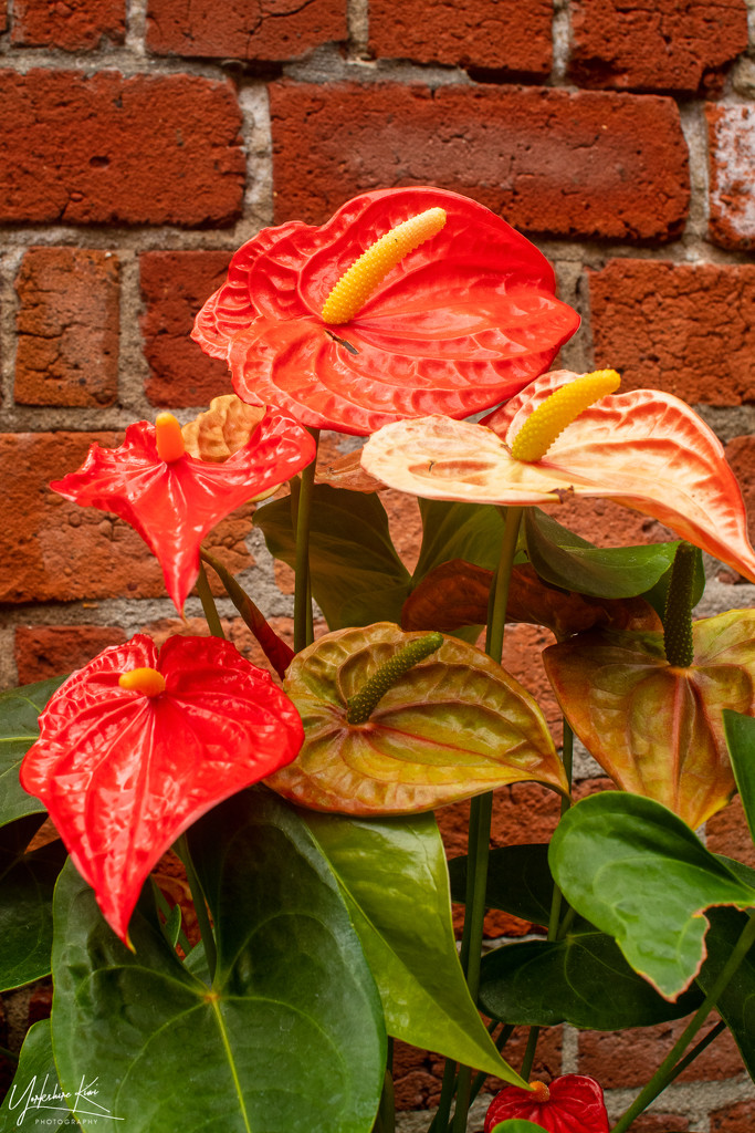 Red Anthurium by yorkshirekiwi