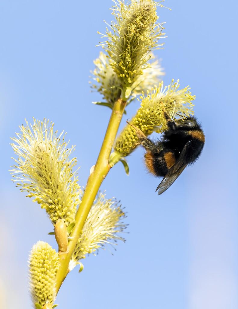 Busy Bumble Bee by shepherdmanswife