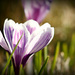 Lovely Crocus