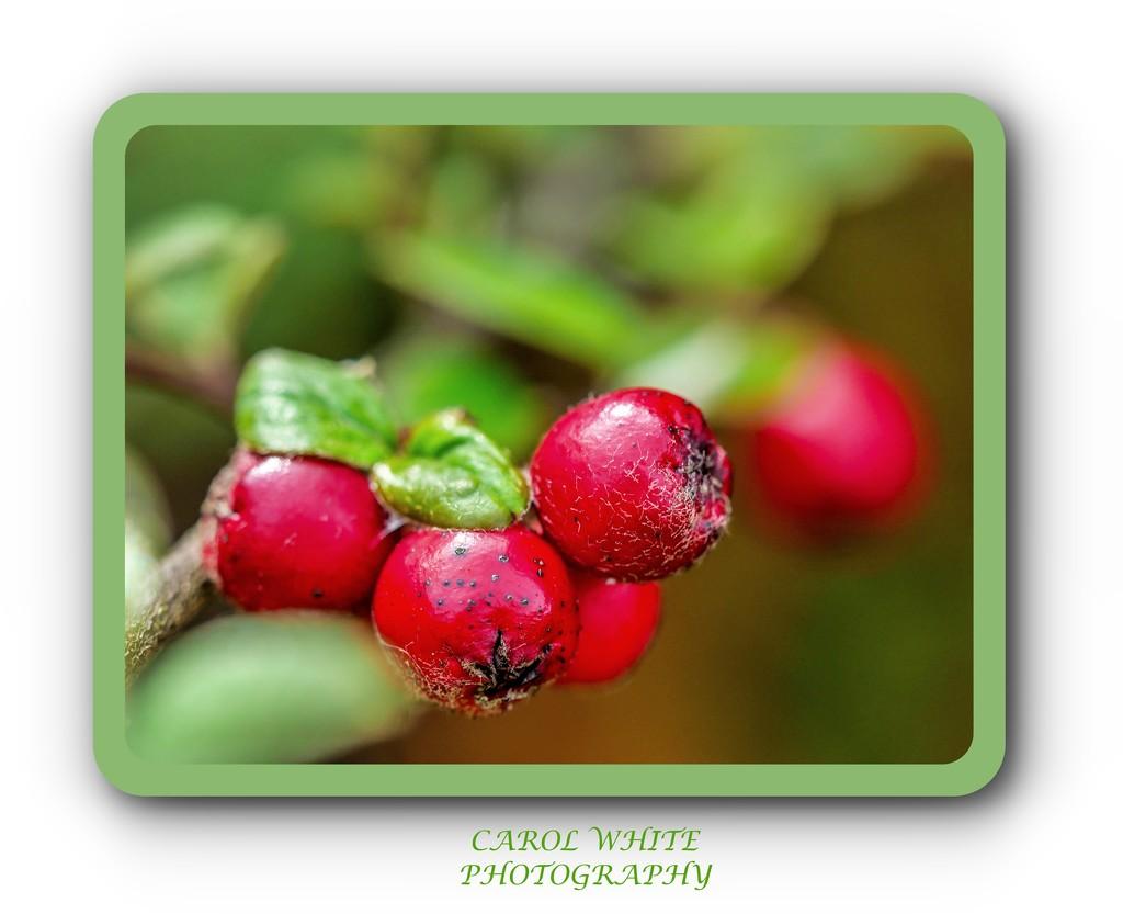 Cotoneaster Berries by carolmw