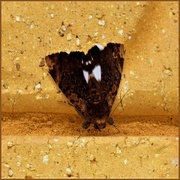 24th Mar 2020 - Another Moth ~