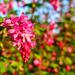 Flowering Currant.