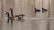 23rd Mar 2020 - coots and geese
