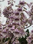 22nd Mar 2020 - Empress Branch if full bloom