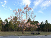 19th Mar 2020 - Empress tree is blooming again