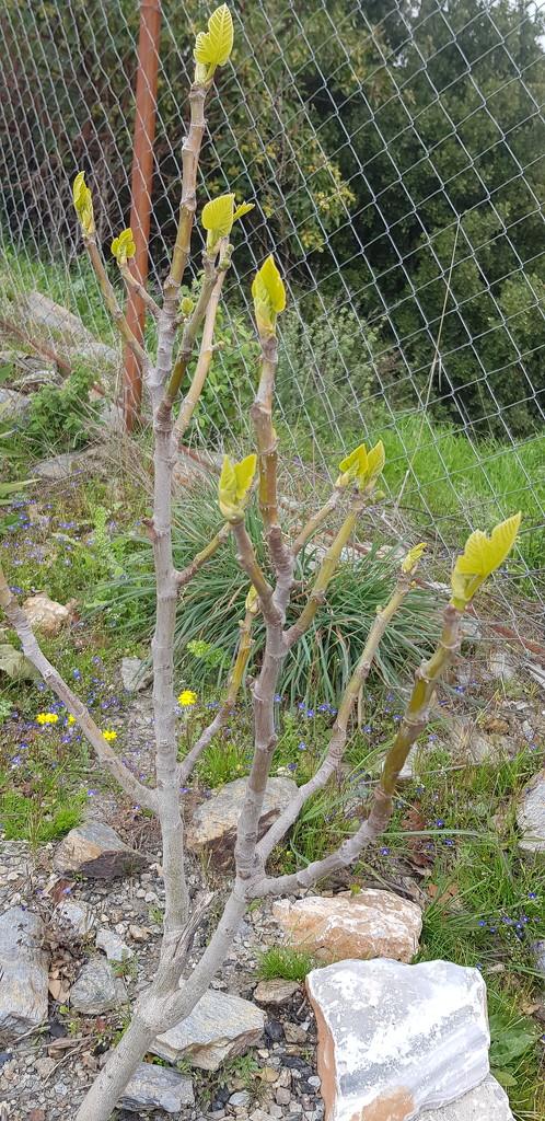 Fig Tree by angelunderwater