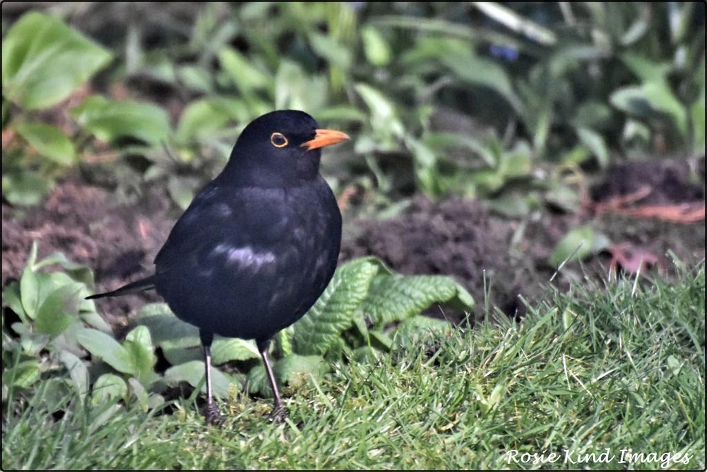 Bobbie blackbird by rosiekind