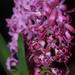 Hyacinth on black