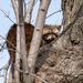 Raccoon up a tree