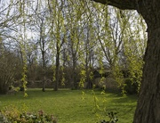 23rd Mar 2020 - Looking through the willow