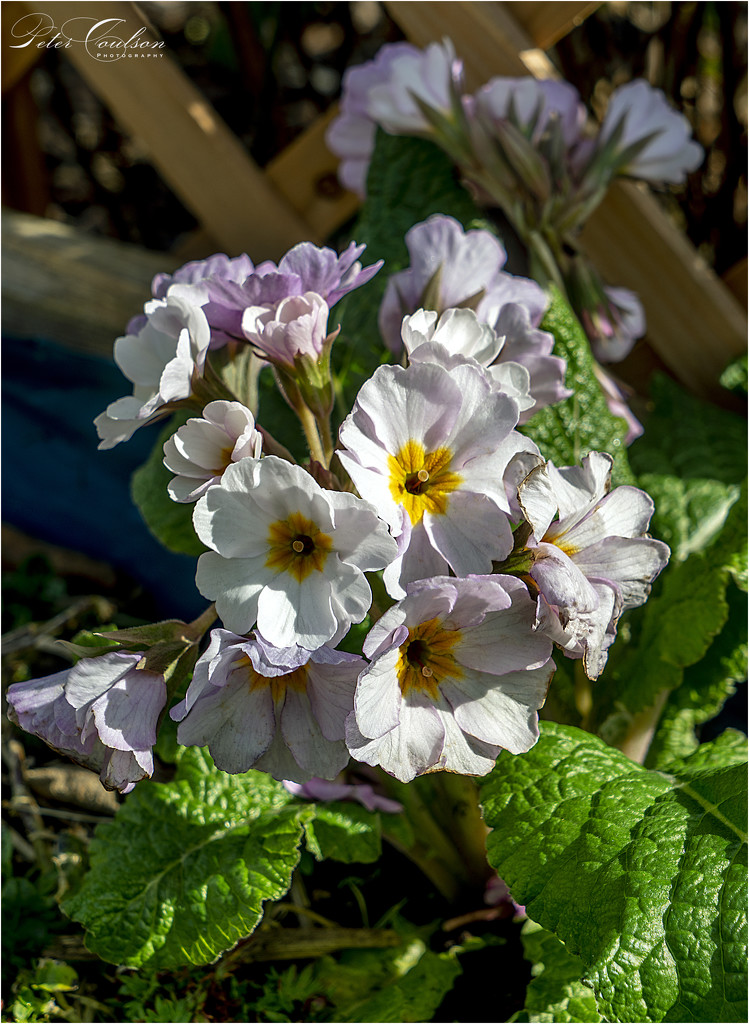 Primula by pcoulson