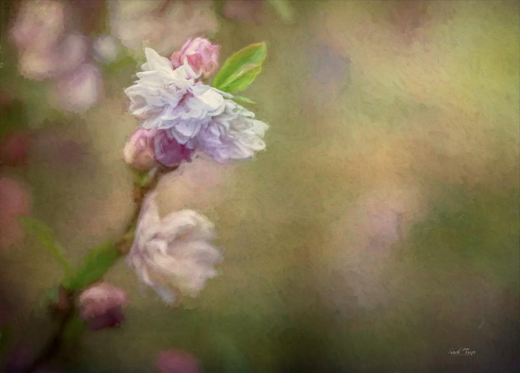 Almond blossom  by samae