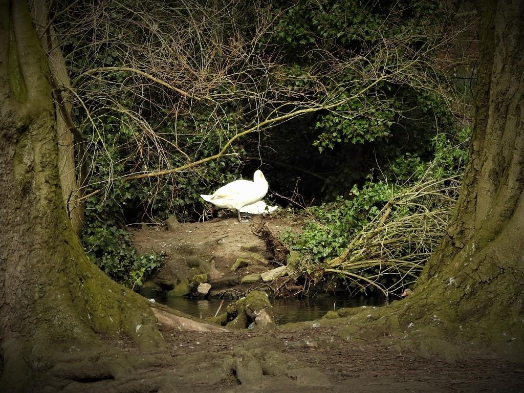 Swans by oldjosh